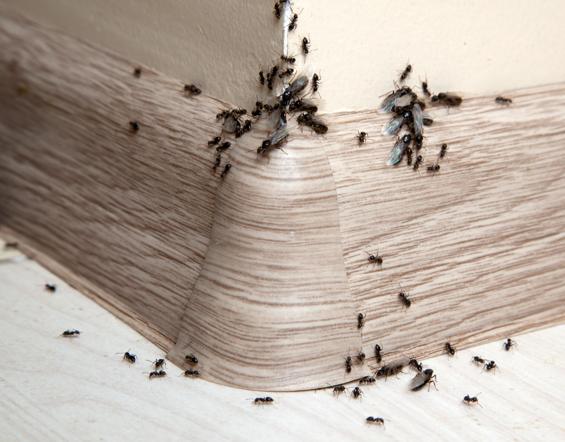 Ant Infestation, Pest Control in Charlton, SE7. Call Now 020 8166 9746