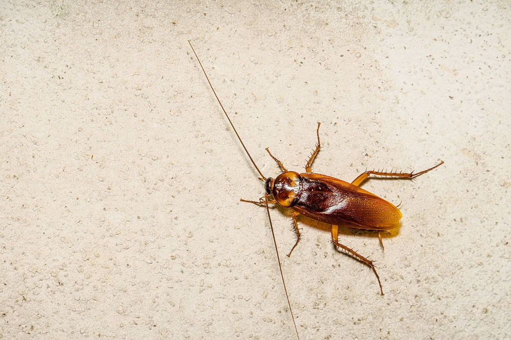 Cockroach Control, Pest Control in Charlton, SE7. Call Now 020 8166 9746
