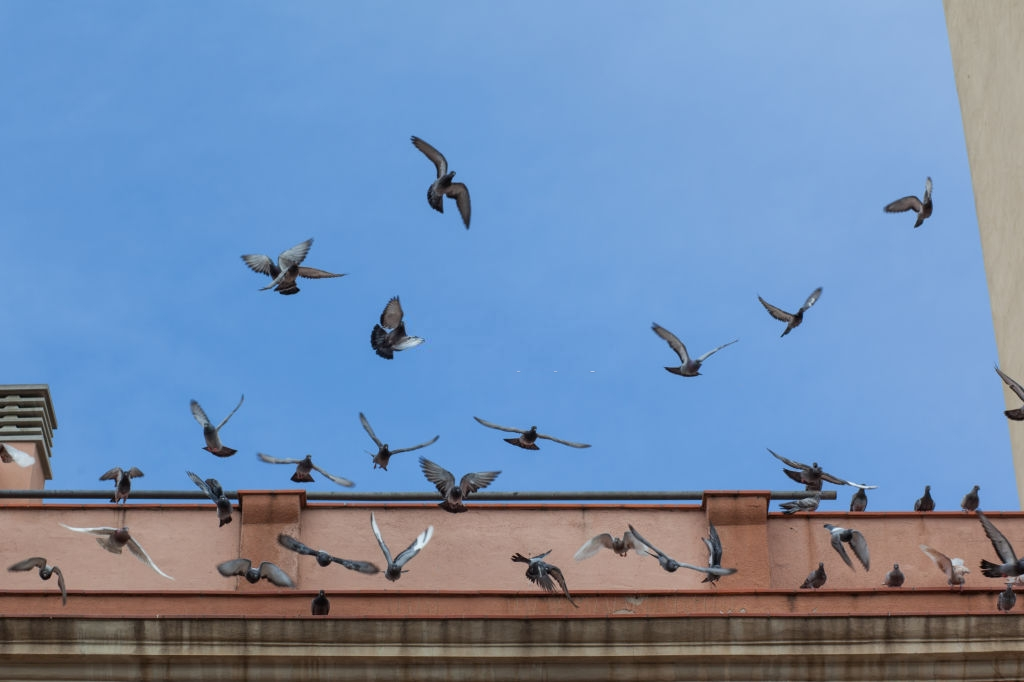Pigeon Pest, Pest Control in Charlton, SE7. Call Now 020 8166 9746