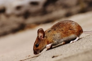 Mice Control, Pest Control in Charlton, SE7. Call Now 020 8166 9746